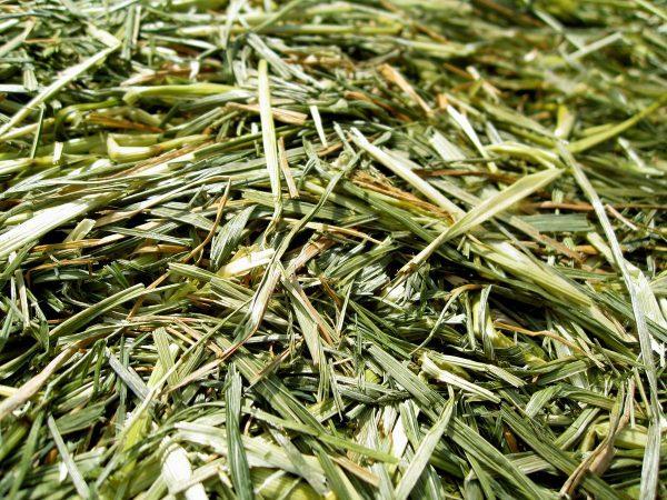 fresh cut haylage